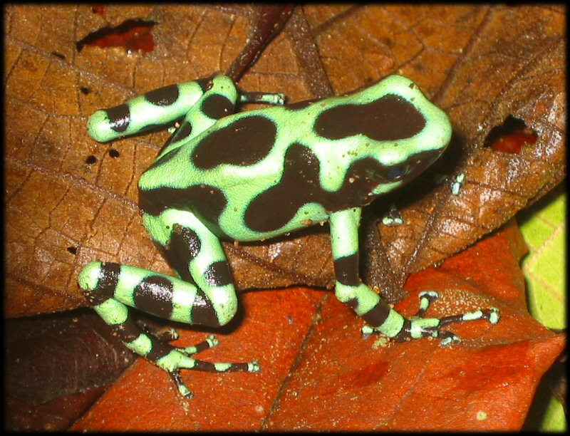 http://delargy.com/images/2003_8_CostaRica/green_poison_dart_frog.JPG