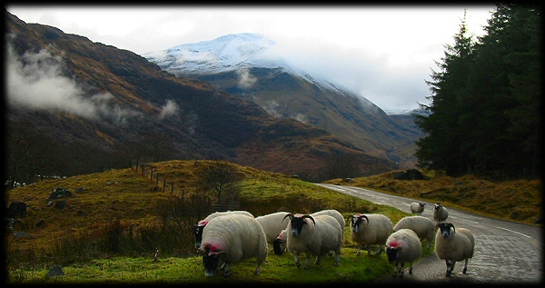 Sheep on the Glen Nevis road