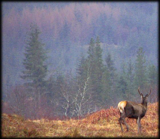 Red Deer Stag in Glen Loy Forest, Scotland
