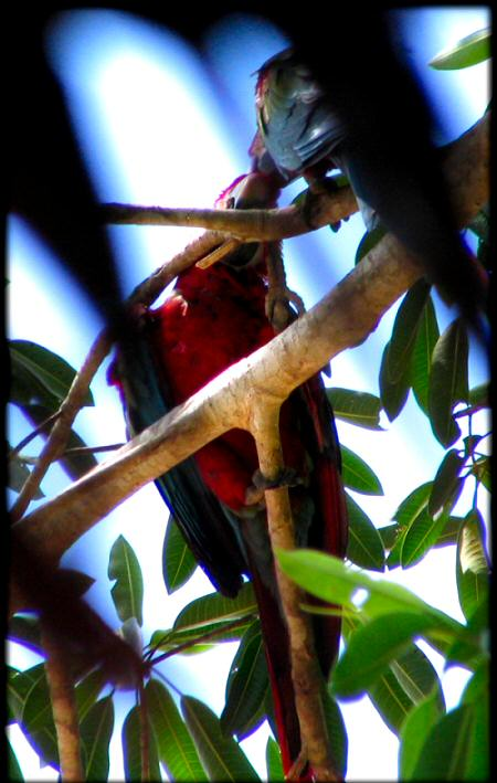 Red & Green Macaws - Parrots