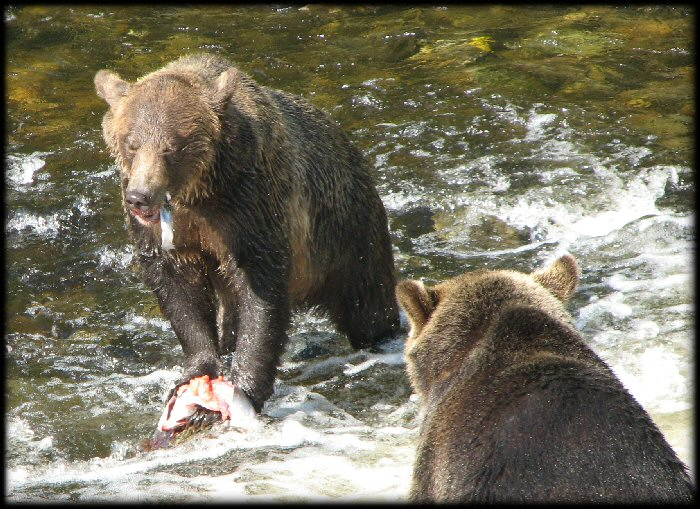 The bears found it easier to catch the fish near the shallows where the salmon would need to jump out of the water to get upstream.