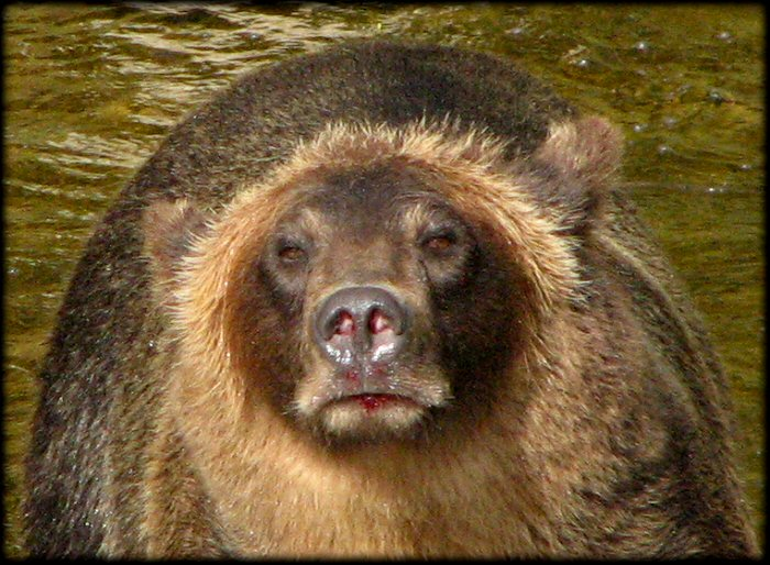 Grizzly bear stare with bloody lips. Probably salmon.