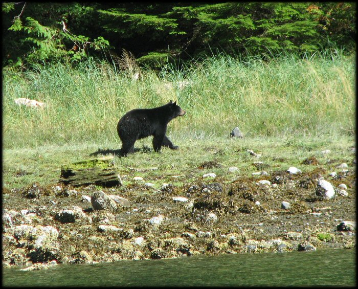 Along the way we saw this black bear on the shore.