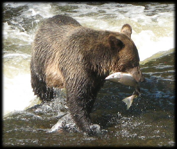 Grizzly catching fish - salmon