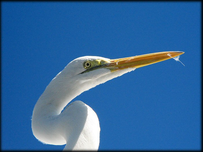 An Egret posing against the sky