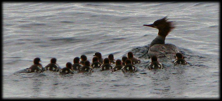 Red-breasted merganser, ducklings, babies