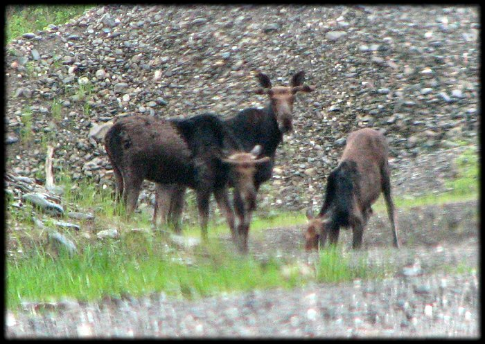 4 moose in quarry area where salt stored