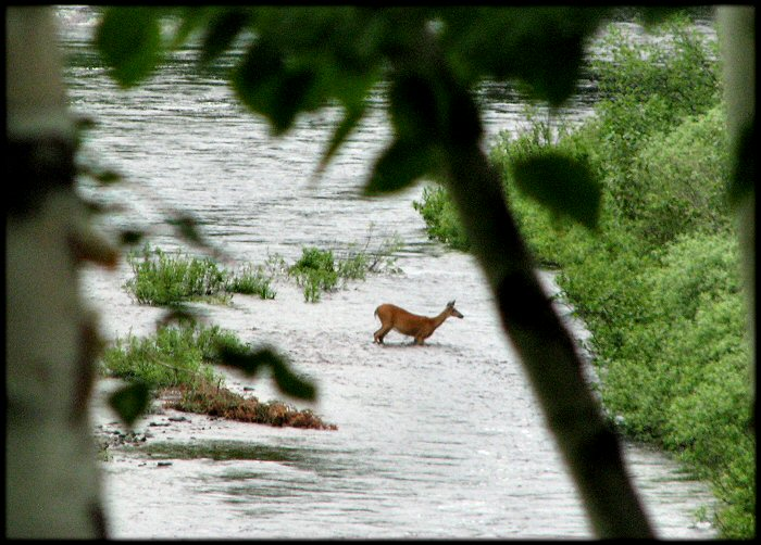 deer swimming across river
