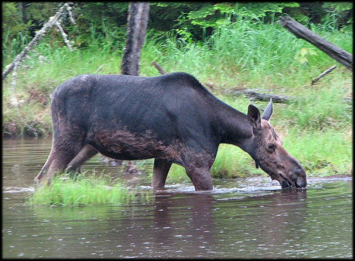 Moose feeding in the pond bottom.