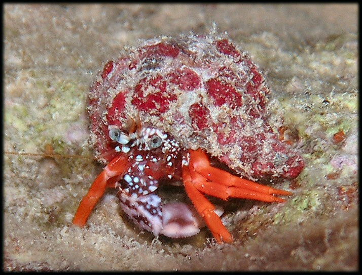 Red Reef Hermit Crab in a borrowed shell. (This might be a more rare Polkadotted Hermit)