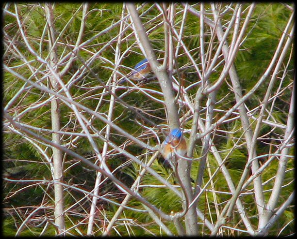 Bluebirds flitting through the trees