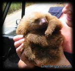 Baby Sloth (Costa Rica)
