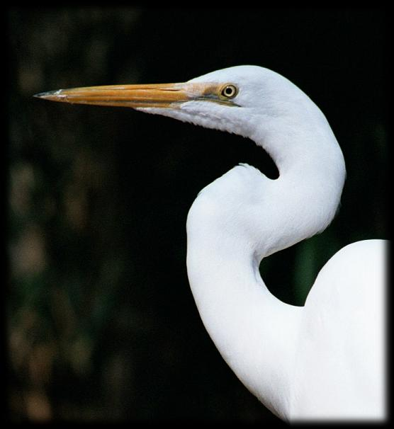 White crane bird - photo#12